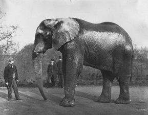 Barnum's Elephant